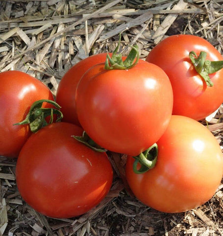Early Girl Tomato Seeds TM769 1