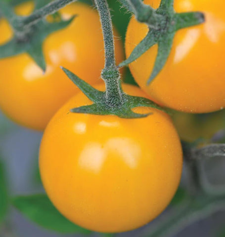 Gold Nugget Tomato Seeds 1