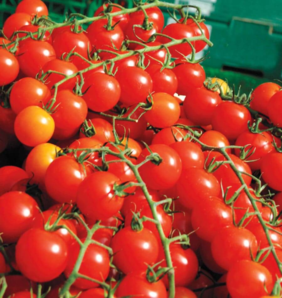 Sweet Million Cherry Tomato Seeds – West Coast Seeds