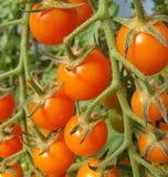Sungold Cherry Tomato Seeds TM786 1