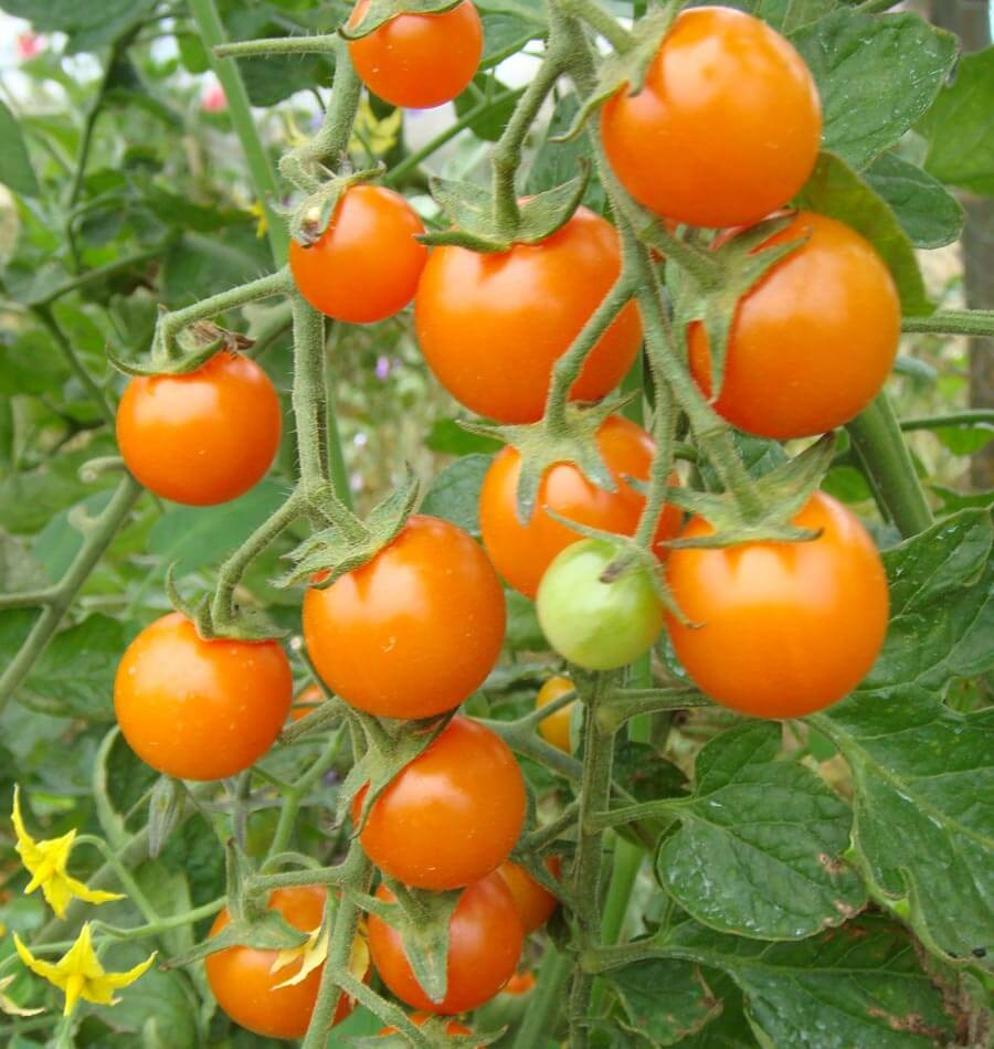 Picture of Live Tomato Sungold Plant Fit 1GAL Pot