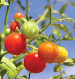 Gardener's Delight Cherry tomato Seeds TM789 2