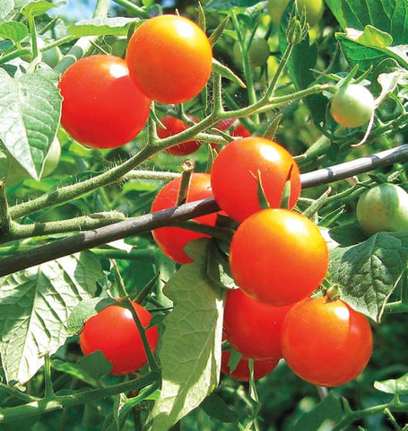 Gardener's Delight Cherry tomato Seeds TM789 1