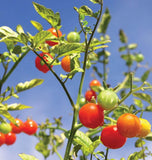 Gardener's Delight Cherry tomato Seeds TM789 4