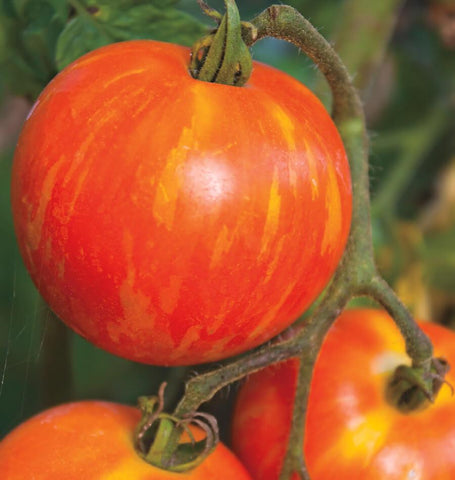 Red Zebra Tomato Seeds 1