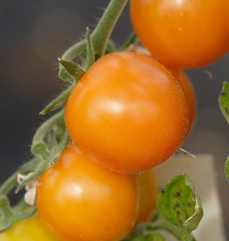 Gold Nugget Organic tomato seeds