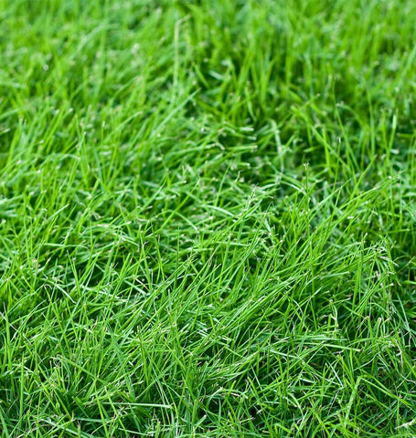Tall Fescue, Turf Type