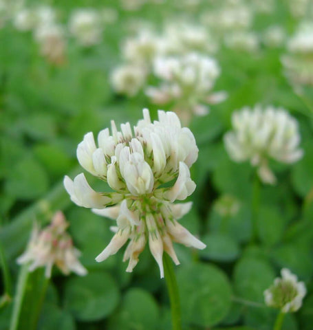 White Dutch Clover