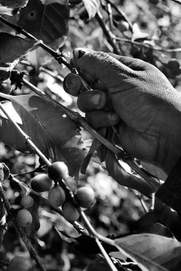 Hand Picking Coffee 03