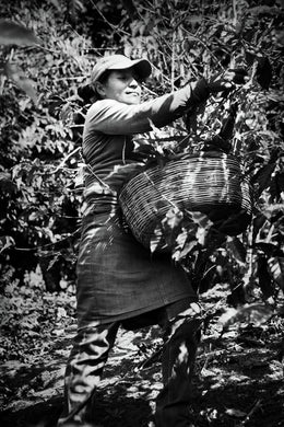 Woman with Basket Picking Coffee