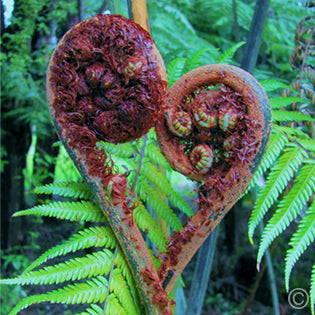 Heart shaped fern in bush, New Zealand