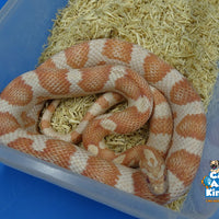 Albino Corn Snake Adult Male