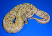 Banana Pastel Ball Python – hatchling male