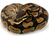Ball Python Normal - Hatchlings