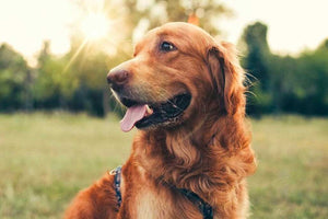 5 Tips to Know When Buying CBD for Dogs