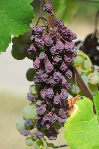 Noble-Rot-Grapes