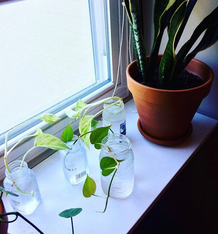 Propagation station pothos philodendron