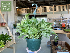 8 Pothos Marble Queen Hanging Basket