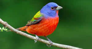 Painted Bunting Love Birds