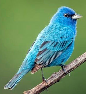Indigo Bunting Love Birds