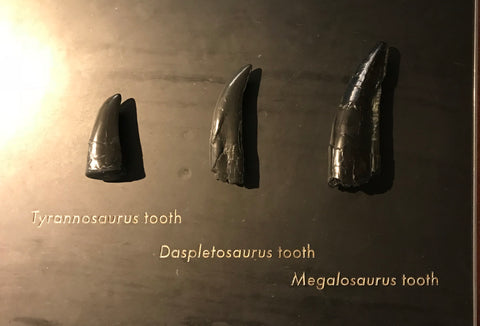 NHM Dinosaur teeth