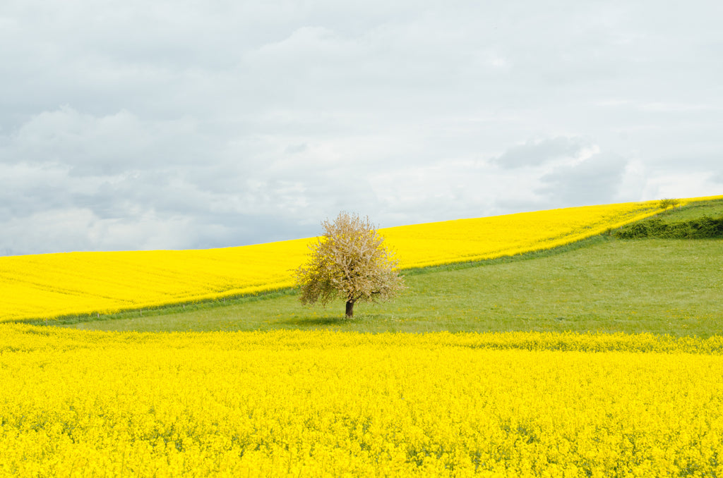 Calming image of a tree in a field of yellow.