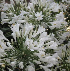 Agapanthus Snow Ripple - Lily of the Nile