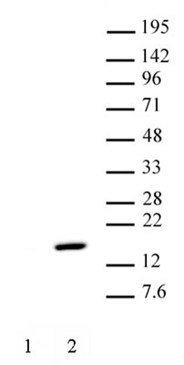 Histone H2AT120ph antibody (pAb)