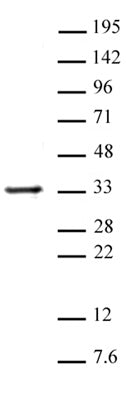 Histone H1 antibody (pAb), sample