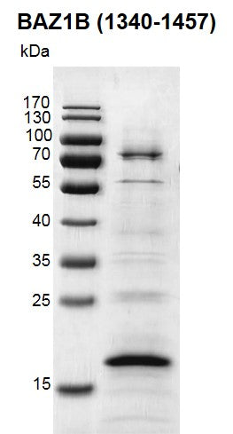 Recombinant BAZ1B (1340-1457) protein