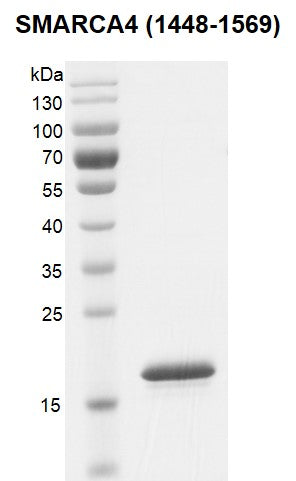 Recombinant SMARCA4 / BRG1 (1448-1569) protein