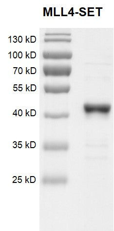 Recombinant KMT2B (MLL4)-SET protein