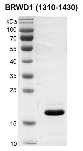 Recombinant BRWD1 (1310-1430) protein
