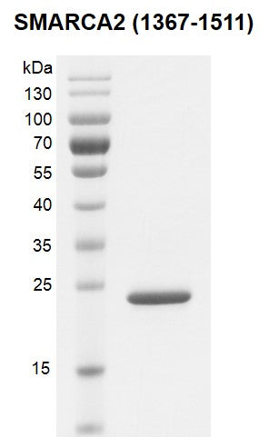 Recombinant SMARCA2 / BRM (1367-1511) protein