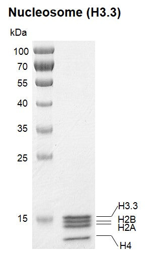 Recombinant Polynucleosomes (H3.3)