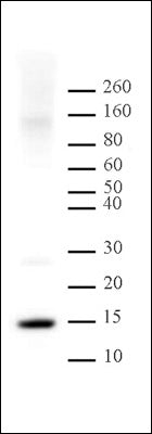 Histone H2A antibody (pAb), sample