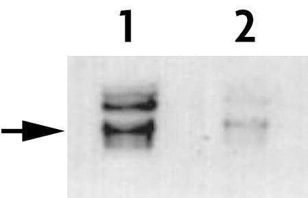 Histone H3T45ph antibody (pAb)