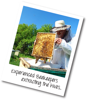 Experienced Beekeepers Extracting the Hives...