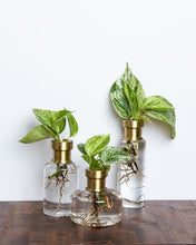 Propagation vases, glass base with brass neck with plants rooting