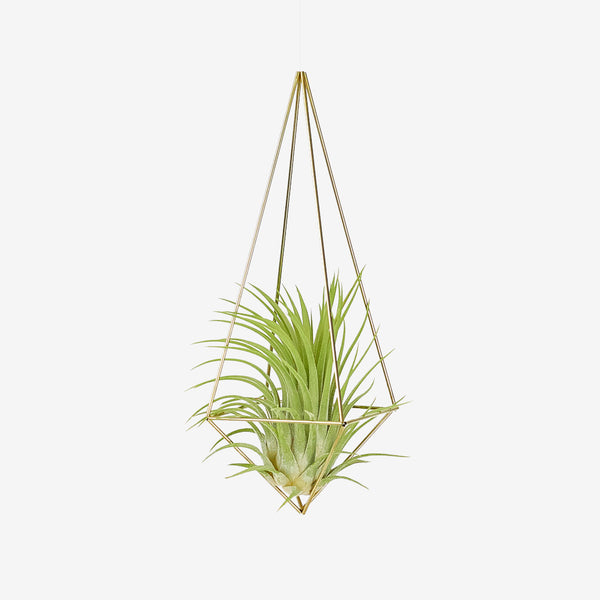 plantlover.de Himmeli Drop Medium + Luftpflanze Tillandsia Rubra XXL