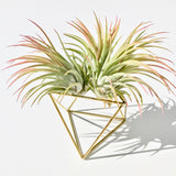 Table Cube + 3 Luftpflanzen Ionantha Green/Red