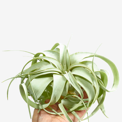 Tillandsia-Xerographica-Mini-Tillandsia-Air-Plant-Luftpflanze-plantlover_de