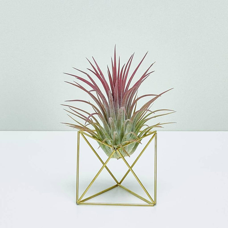 Table Himmeli Cube + Luftpflanze Ionantha Red XXL
