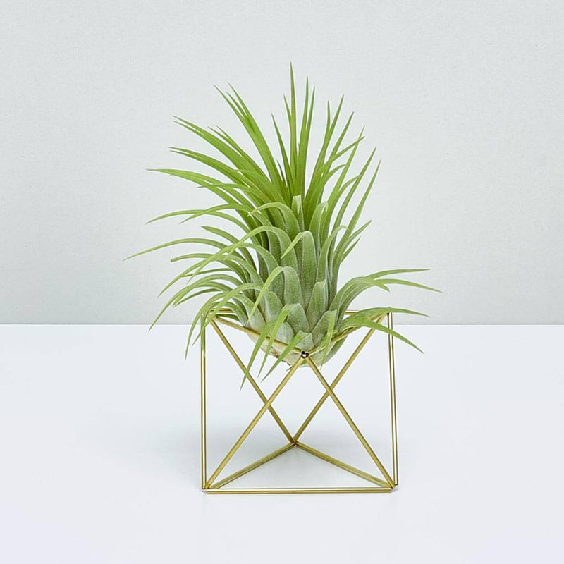 Table Himmeli Cube + Tillandsia Rubra XXL