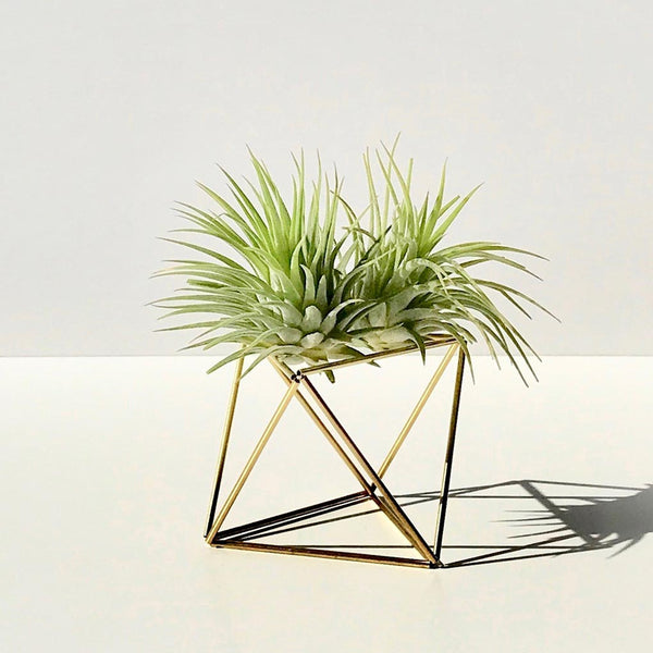 Table Himmeli Cube Gold + 2x Tillandsia Ionantha Green