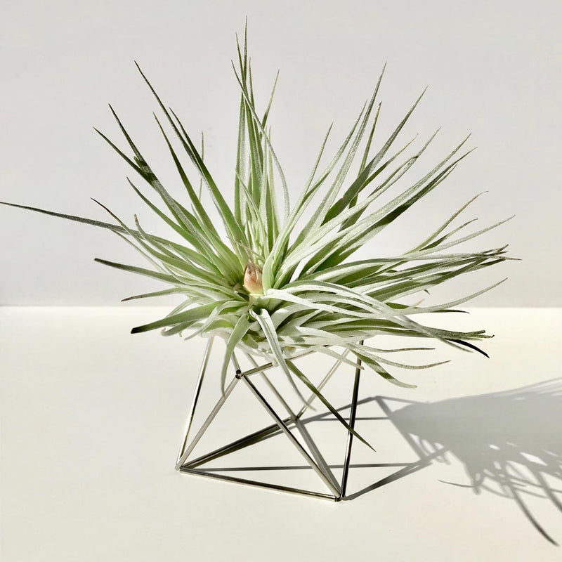 Table Himmeli Cube Silver + Tillandsia Houston Candy