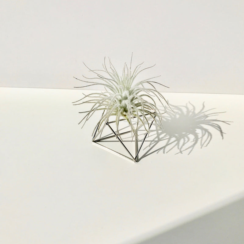 Table Cube Silver + Luftpflanze Tectorum