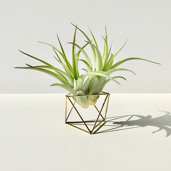 Table Himmeli Cube Gold + 2x Tillandsia Abdida