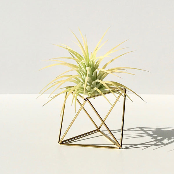 Table Himmeli Cube Gold + Tillandsia Ionantha Yellow