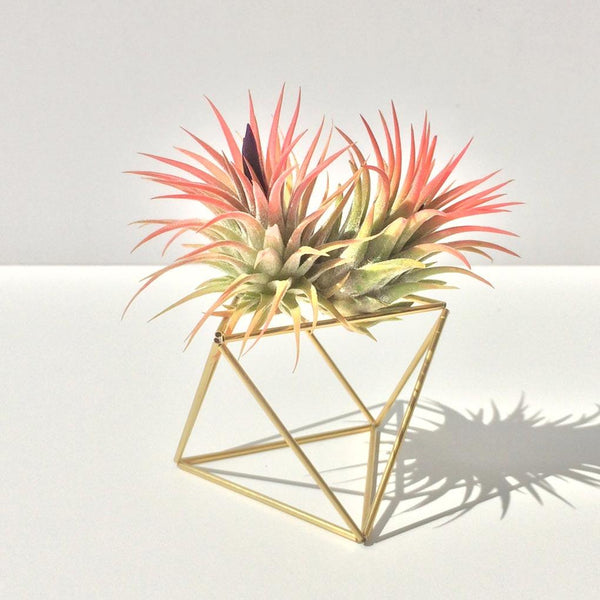 Table Cube Gold + 2 Luftpflanzen Ionantha Red